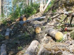 В Ялте зафиксирован факт незаконной вырубки леса