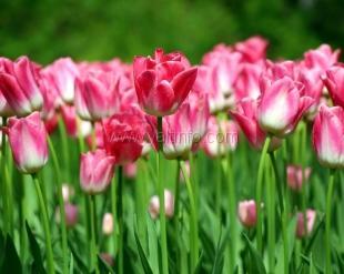 В Никитском саду пройдет «Парад тюльпанов»