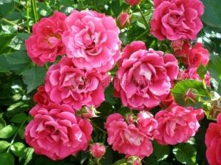 В Никитском ботаническом саду зацвели розы