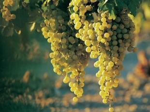 В Ялте выберут лучшие виноградные гроздья
