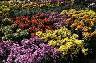 В Ботаническом саду начался «Бал хризантем»
