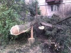 Вырубить старейшие кипарисы в Ялте разрешили местные власти