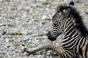 В зоопарке «Сказка» впервые родилась зебра