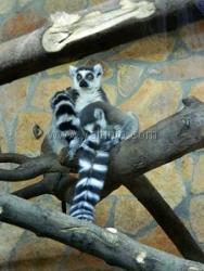 В ялтинском зоопарке родилась двойня лемуров