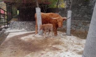 В зоопарке в Ялте впервые родился детеныш шотландской коровы
