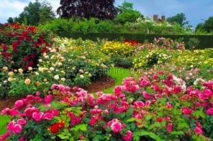 Разработан проект Императорского розария в Массандре, где высадят 250 сортов роз, связанных с историей России