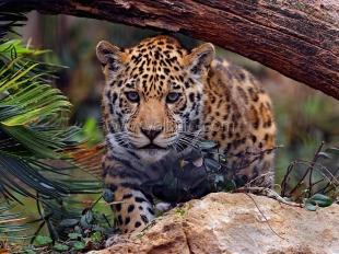 В Крым везут трех ягуаров и 50 обезьян из Европы