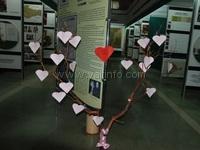 В Никитском ботаническом саду «расцвело» Дерево любви