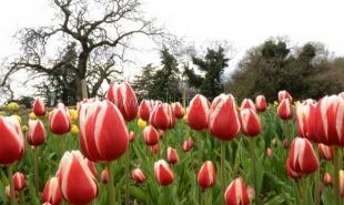Из-за холодов в Никитском ботаническом саду распустилась только треть тюльпанов