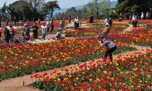 «Парад тюльпанов» в Ялте посетило рекордное количество посетителей