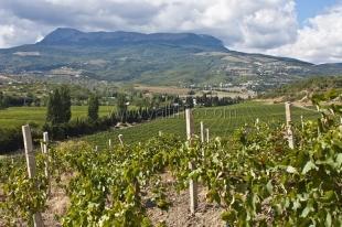 «Массандра» закладывает новые виноградники