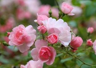 В Никитском саду откроется выставка «Романтические розы»