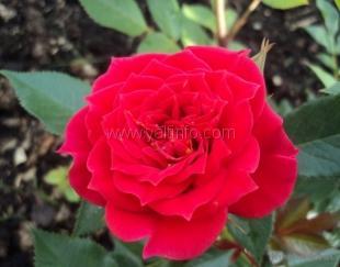 В Никитском саду впервые поздравят с днём рождения… розу