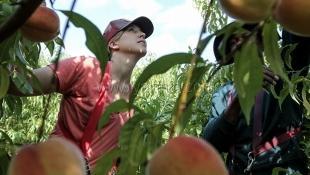 Ялтинцев приглашают в трудовые отряды и бригады для уборки урожая фруктов в Крыму