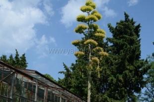 В Никитском саду зацвела агава