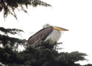 Ялтинский пеликан стал более доверчив к людям