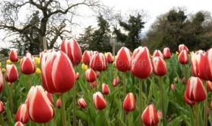 Открытие девятой выставки тюльпанов состоялось в Никитском ботсаду