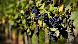 Столовые вина «Массандры» удивили виноделов